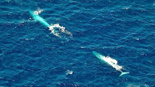 A pod of rare endangered blue whales was spotted swimming off the coast of California near San Pedro on Monday, August 01, 2011.