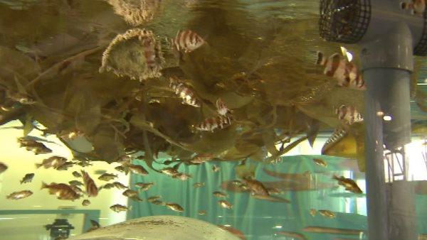 'It's a little hidden gem in Los Angeles,' said Jim DePompei of the Cabrillo Marine Aquarium. 'We are an aquarium that's right on the coast; we have the beach within 100 yards of the aquarium.'