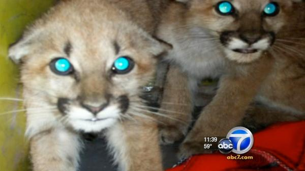 Mountain lion cubs found under car in Burbank