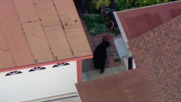 A 400-pound black bear roamed around a Montrose neighborhood for several hours on Tuesday, April 10, 2012.