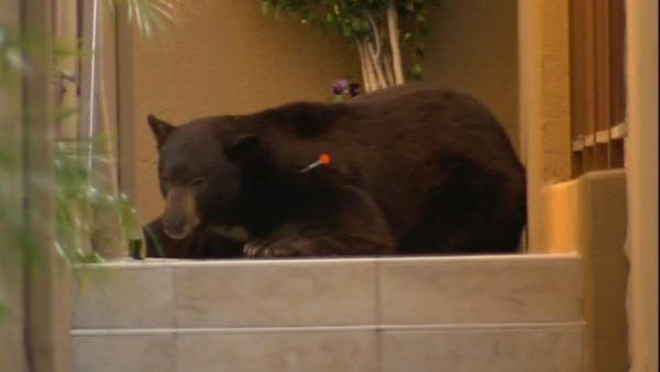 A 400-pound black bear roamed around a Montrose neighborhood for several hours on Tuesday, April 10, 2012.  The bear was sedated with three tranquilizers, and then officials loaded him into a truck to be relocated to a more bear-friendly area.