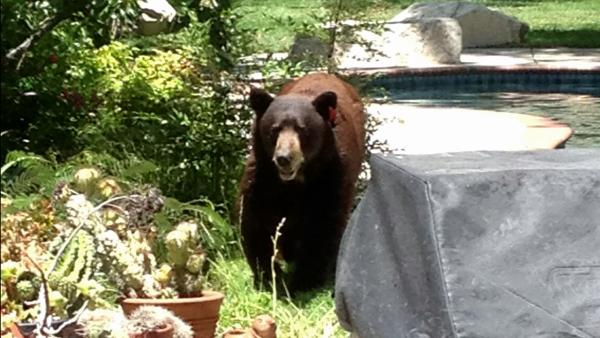 'Meatball' the bear returns to foothill area