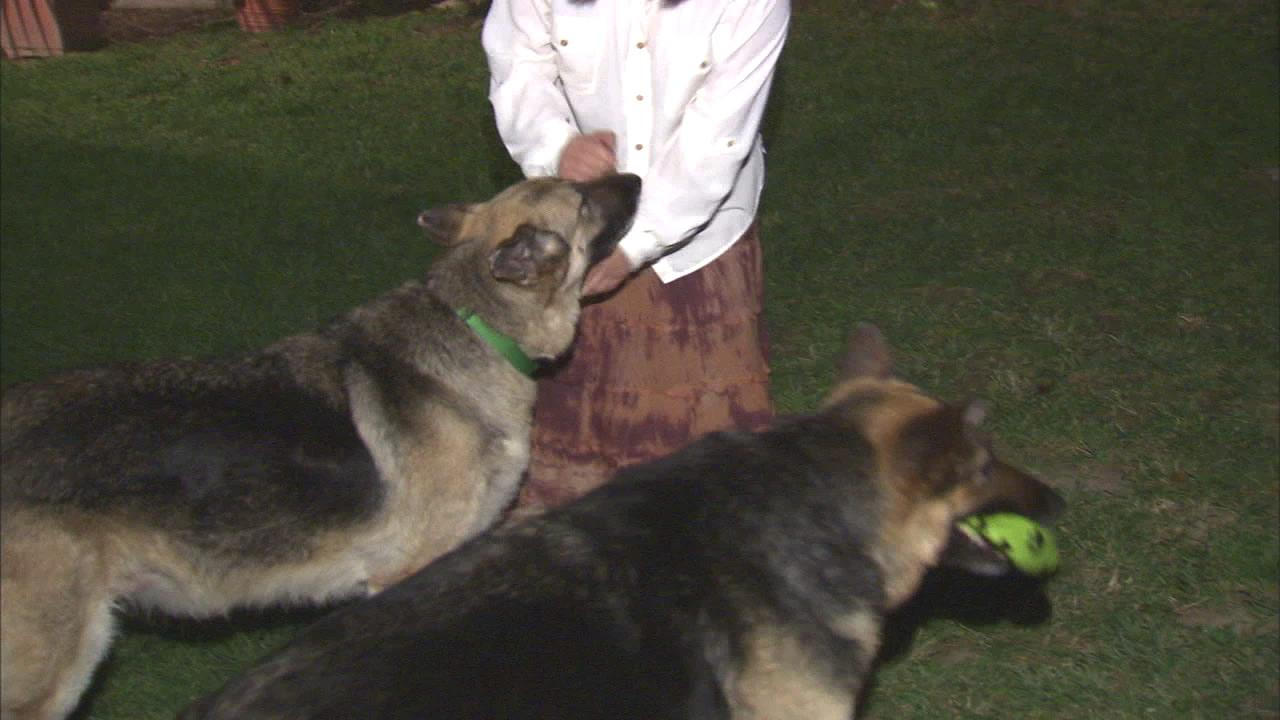 Raja and Ronnie, two German shepherds in need of a new home.