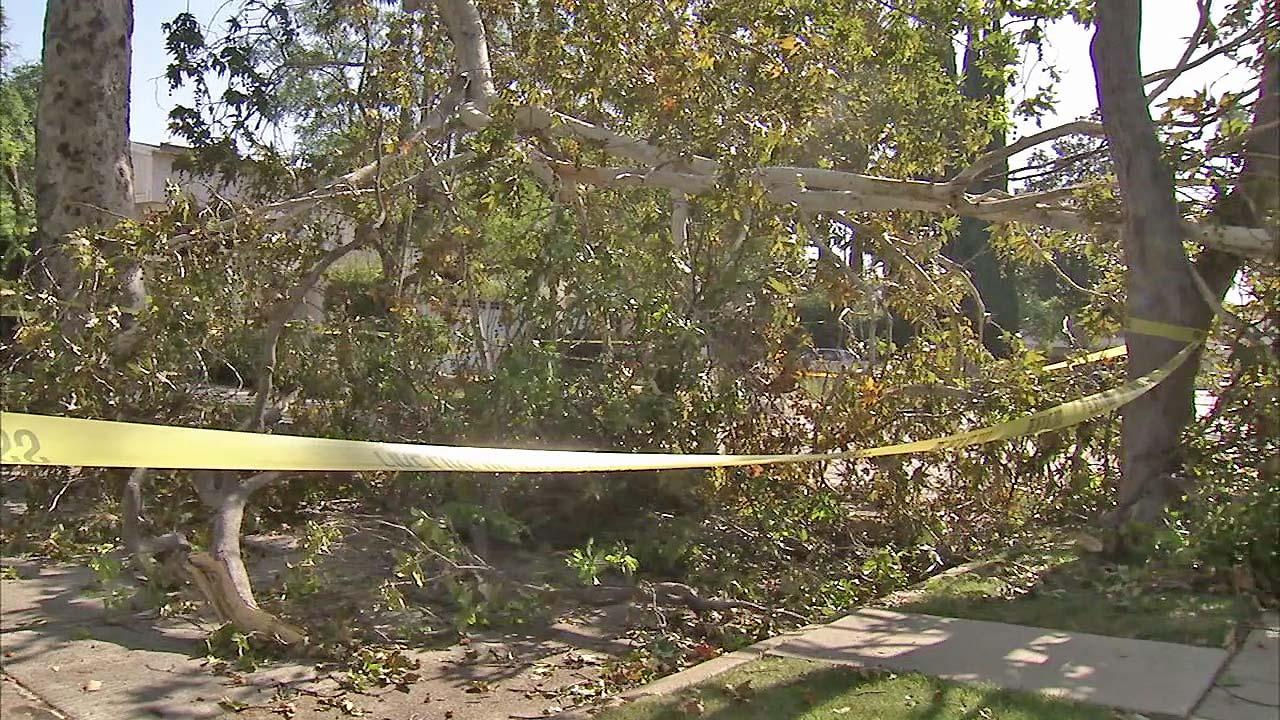 A fallen tree in a Toluca Lake neighborhood is taped off in this July 2012 photo.