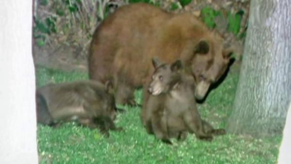 Bear family makes repeat visits to Altadena