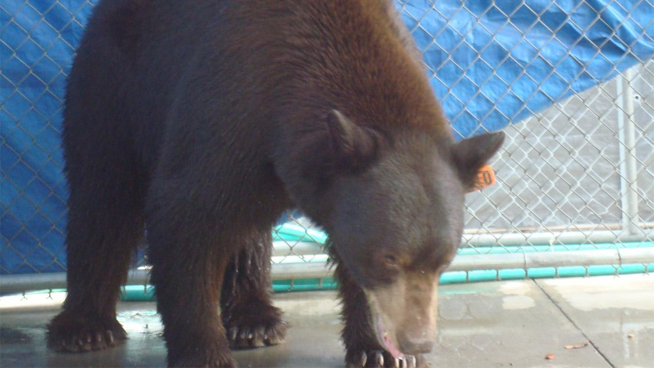 A trap baited with honey and bacon led to the capture of Meatball the bear in Glendale on Wednesday, Aug. 29, 2012. He was transported to a sanctuary in San Diego County.Department of Fish and Game