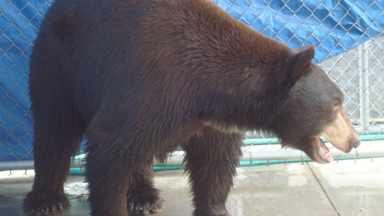 A trap baited with honey and bacon led to the capture of Meatball the bear in Glendale on Wednesday, Aug. 29, 2012. He was transported to a sanctuary in San Diego County. <span class=meta>(Department of Fish and Game)</span>