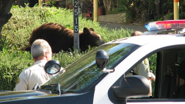 A bear roamed a Montrose neighborhood, visited a local school and stopped traffic on the 210 Freeway Sunday. ABC7 viewer Edwin Megerdichian sent in this photo of the bear behind some bushes on Sunday, Sept. 9, 2012.