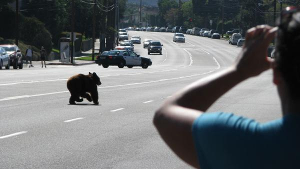 A bear runs down the street near La Crescenta in this photo sent in by ABC7 viewer Edwin Megerdichian on Sunday, Sept. 9, 2012.