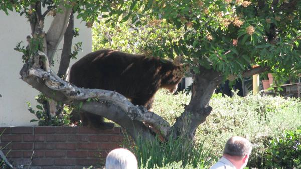 A bear walks along a brick ledge in this photo sent in by ABC7 viewer Edwin Megerdichian on Sunday, Sept. 9, 2012.