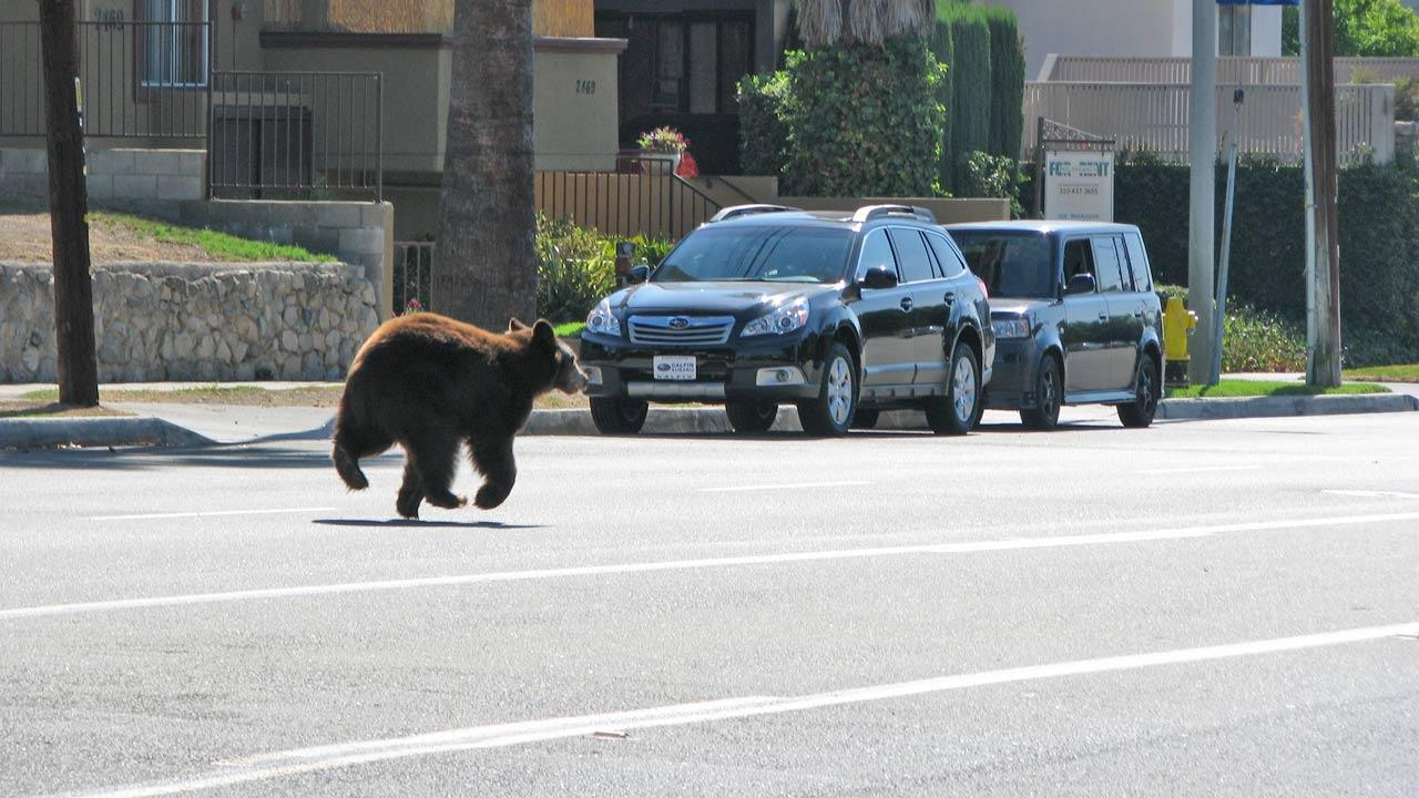 A bear runs down the street near La Crescenta in this photo sent in by ABC7 viewer Edwin Megerdichian on Sunday, Sept. 9, 2012.ABC7 viewer Edwin Megerdichian