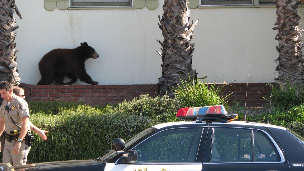 A bear walks along a brick ledge in this photo sent in by ABC7 viewer Edwin Megerdichian on Sunday, Sept. 9, 2012.ABC7 viewer Edwin Megerdichian