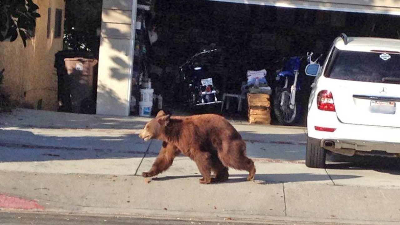 A bear walks in front of a home near La Crescenta in this photo provided by the Los Angeles County Sheriffs Department on Sunday, Sept. 9, 2012. <span class=meta>(Los Angeles County Sheriff&#39;s Department)</span>