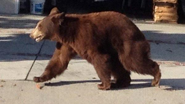 A bear walks in front of a home near La Crescenta in this photo provided by the Los Angeles County Sheriff's Department on Sunday, Sept. 9, 2012.
