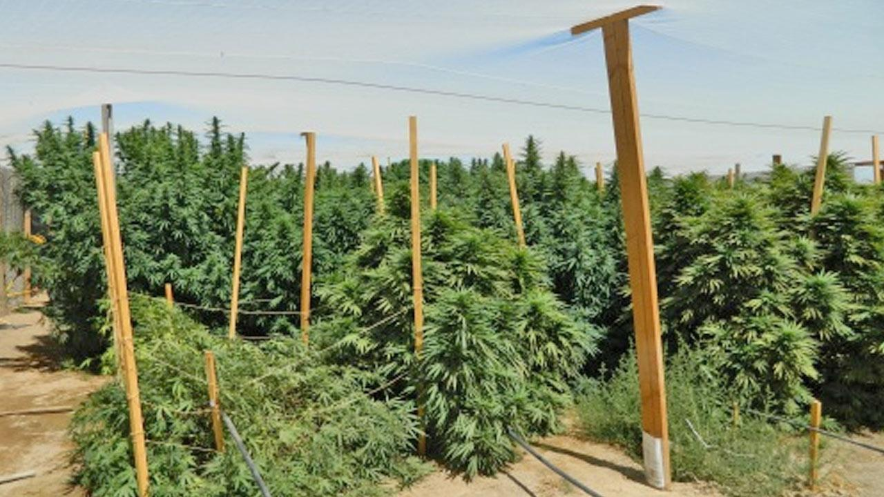 A deputy discovered a large-scale marijuana farm in Lake Los Angeles near 57th Street East and Avenue E.