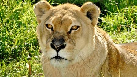 Cookie, the Los Angeles Zoos lioness, is seen in this undated photo.