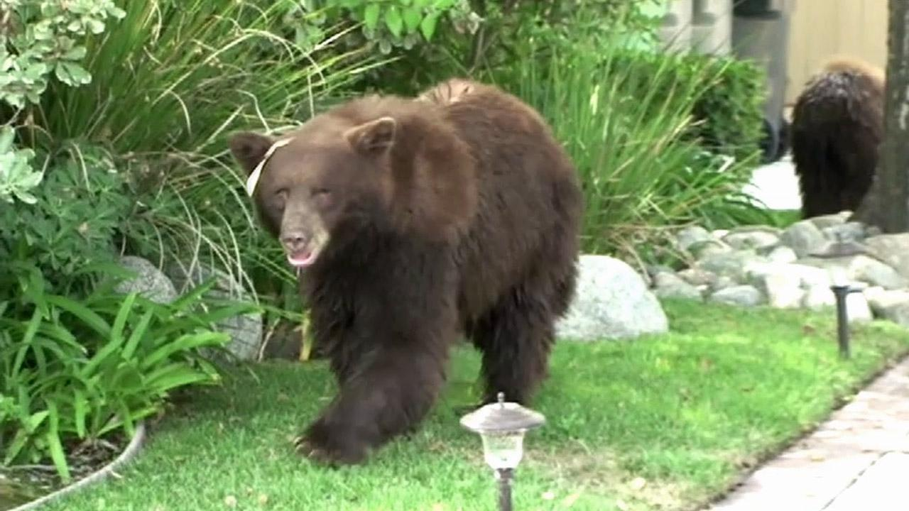A mama bear and baby bear wandered around near Highland Oaks Drive and Woodland Avenue in Arcadia on Saturday, Sept. 29, 2012.
