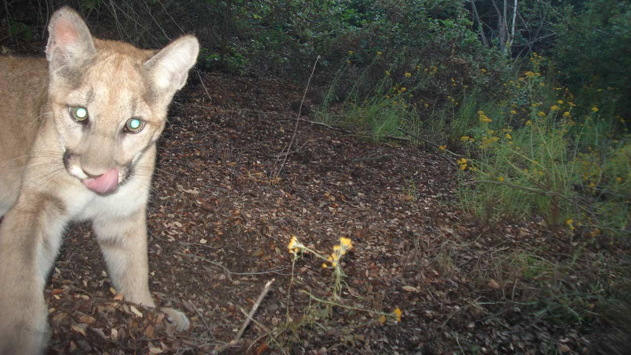 This photo of Puma-25 as a kitten was taken by a remote camera in June.