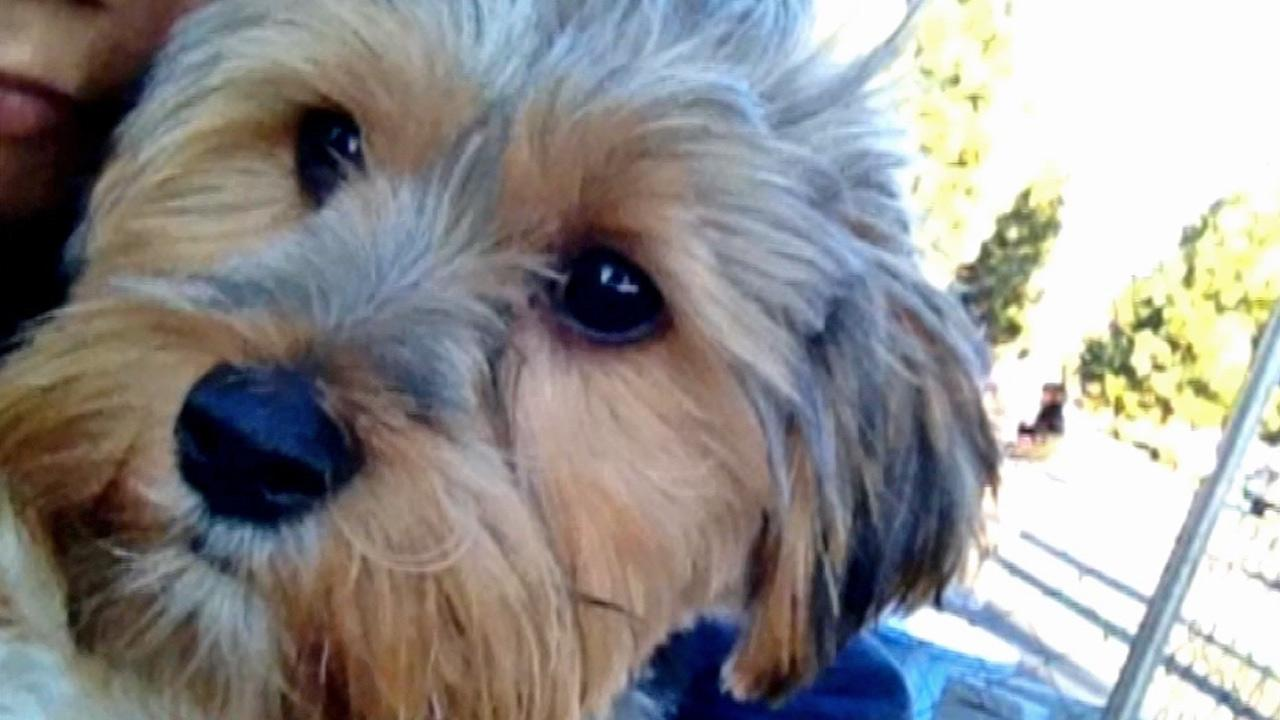 A 4-month-old Yorkshire terrier, seen in the above photo, was stolen from an adoption event in Woodland Hills on Saturday, Jan. 26, 2013.