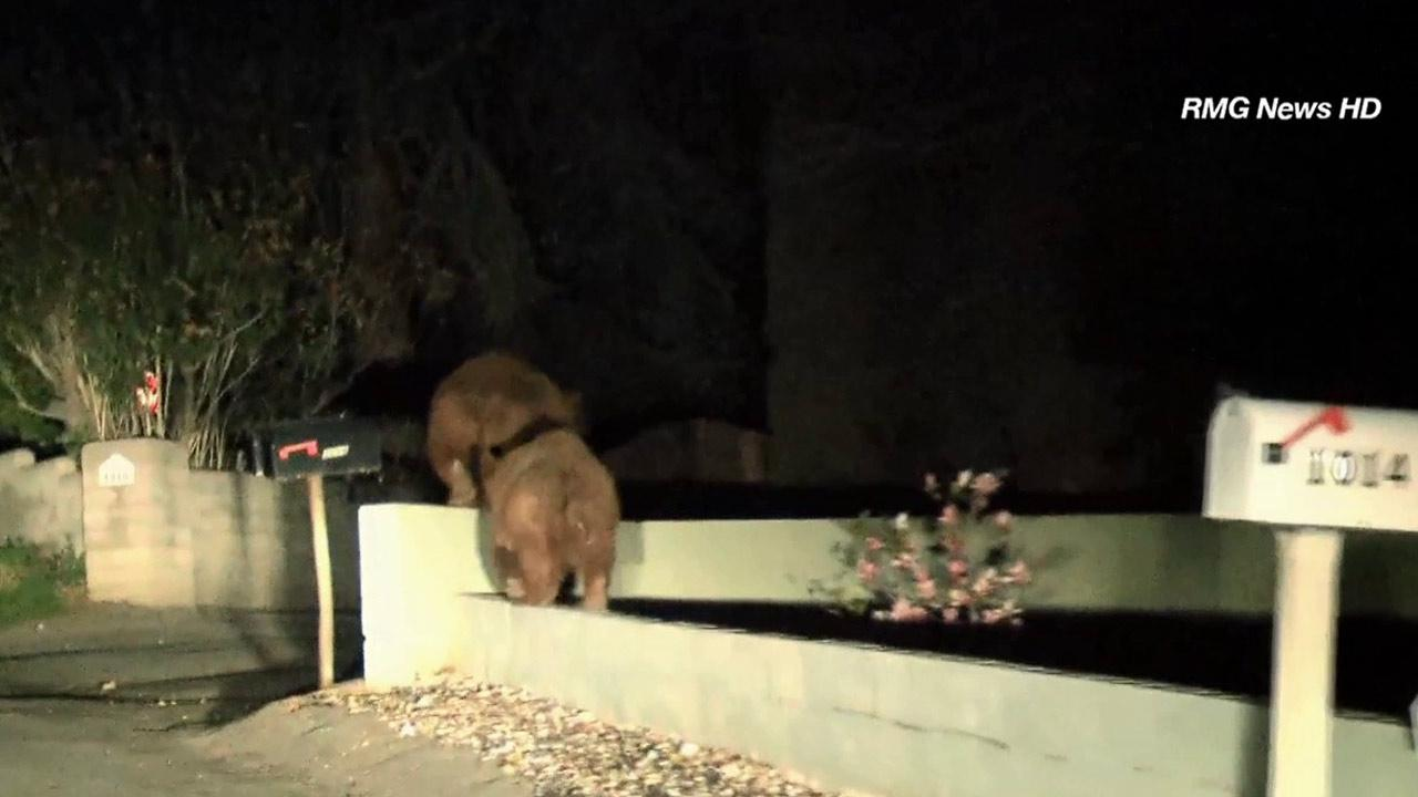 A mother bear and her cub were spotted wandering around Norumbega Road in Monrovia before running into the hills Monday, Feb. 18, 2013.
