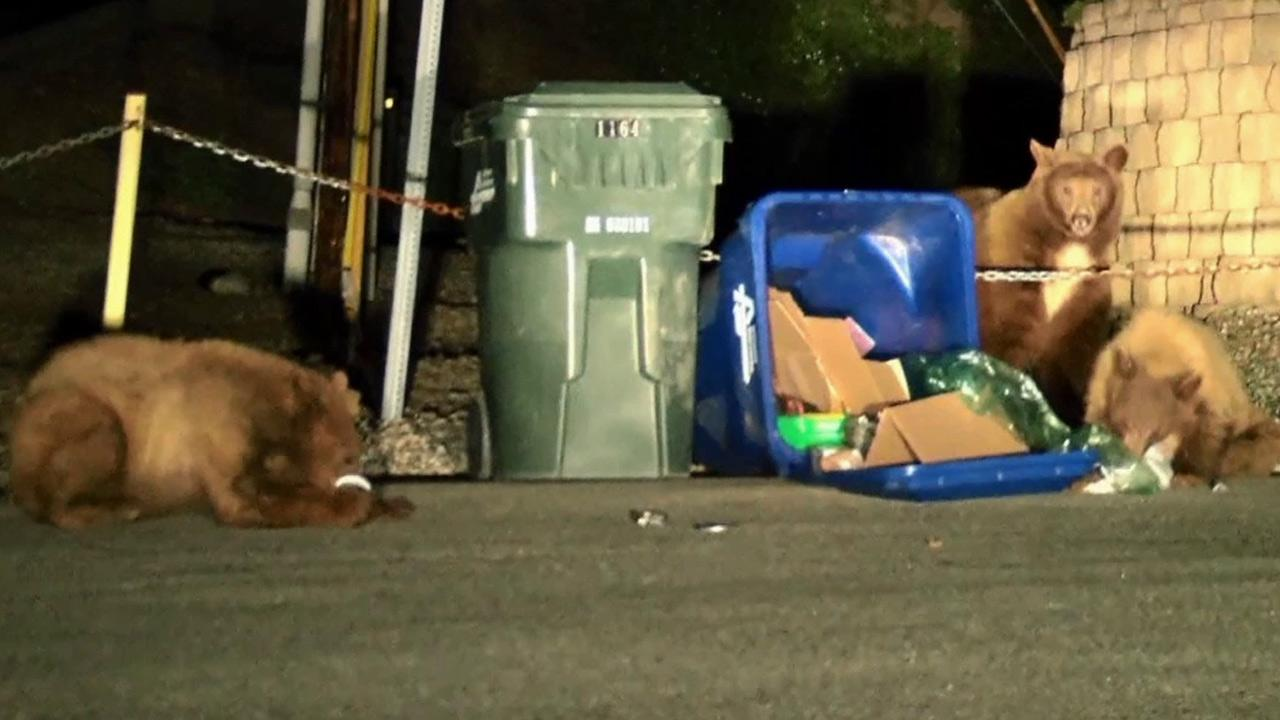 A large bear and two cubs going through trash cans on the 1100 block of Norumbega Drive in Monrovia on Monday, Feb. 25, 2013.