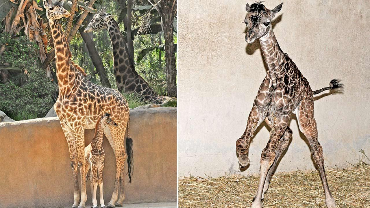 The Los Angeles Zoo introduced its newest spring addition: a giraffe calf named Sophie.