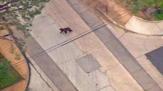 A bear was spotted in the Shadow Hills area on Wednesday, May 22, 2013.