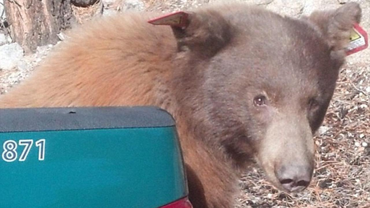 A young bear was driven back to Angeles National Forest after roaming around a Baldwin Park neighborhood on Friday, Oct. 11, 2013. The bear was later found dead on the porch of a home in Little Rock on Wednesday, Oct. 16, 2013.