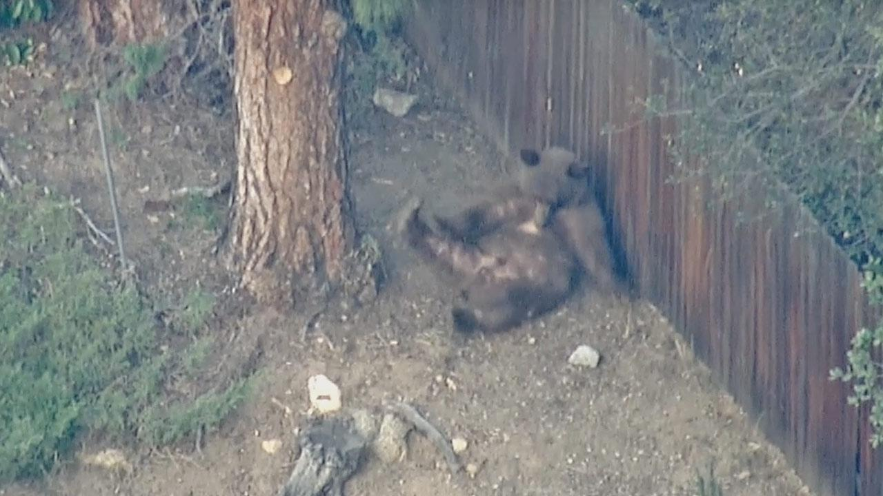 A bear wandered around a neighborhood in Pasadena on Thursday, Jan. 23, 2014.