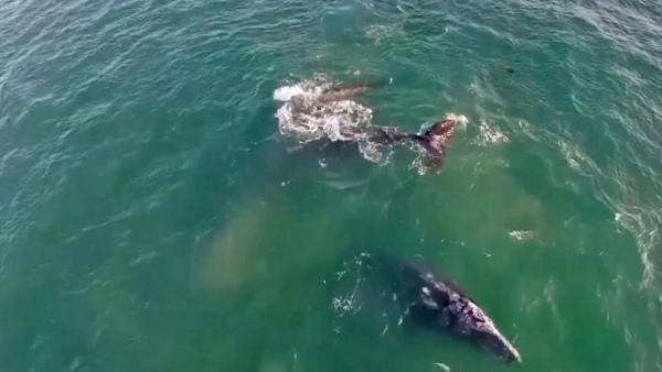 Malibu whales caught on drone camera