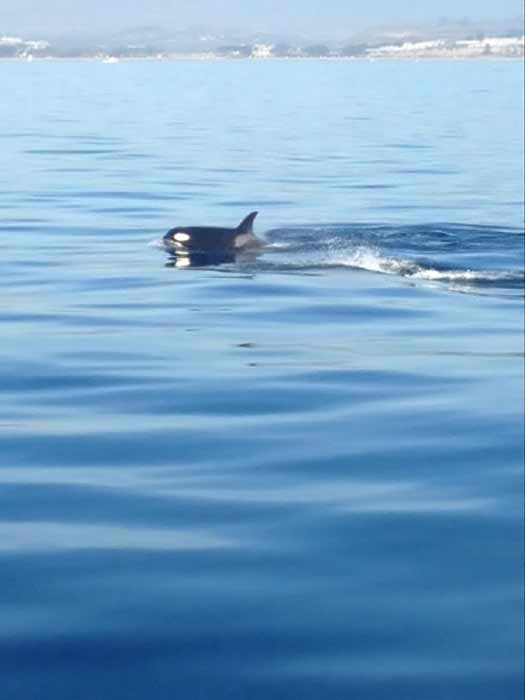 In a rare sight for whale watchers, a pod of killer whales was spotted swimming off Dana Point on Tuesday, Jan. 3, 2011.