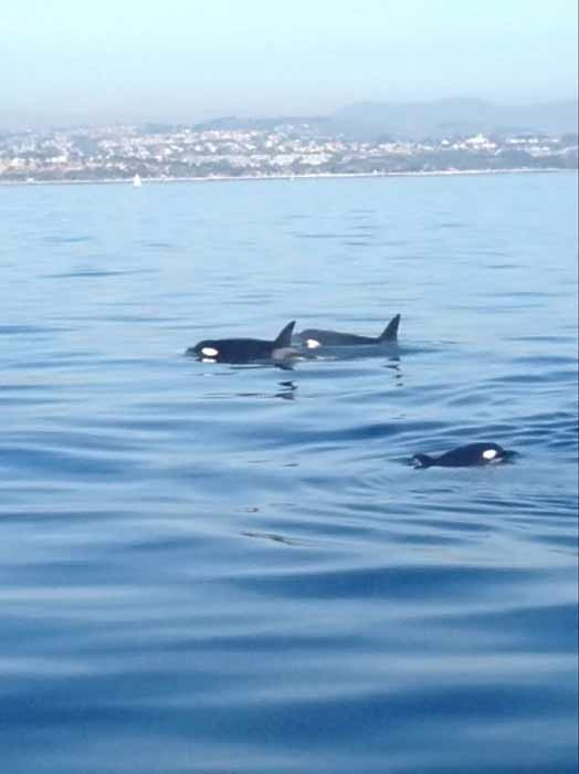 "<div class=""meta image-caption""><div class=""origin-logo origin-image ""><span></span></div><span class=""caption-text"">In a rare sight for whale watchers, a pod of killer whales was spotted swimming off Dana Point on Tuesday, Jan. 3, 2011. (Dana Wharf Sportfishing & Whale Watching)</span></div>"