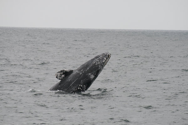 Gray whales were spotted off the Orange County coast on Monday, March 5, 2012. Photos of the whales were taken by Dana Wharf Sportfishing &#38; Whale Watching in Dana Point Harbor. <span class=meta>(Danawharf.com)</span>