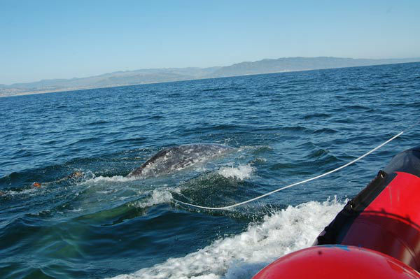 Crews worked to rescue a gray whale entangled in...