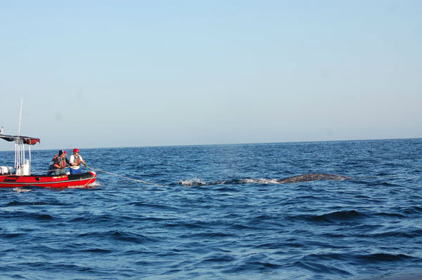 Crews worked to rescue a gray whale entangled in a fishing line off the coast of San Onofre on Tuesday, April 17, 2012. <span class=meta>(Photo&#47;Pacific Marine Mammal Center)</span>