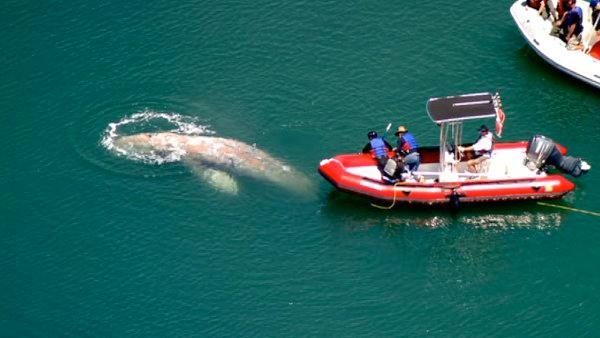 A team from Sea World attempts to remove a rope from a whale that's been swimmin
