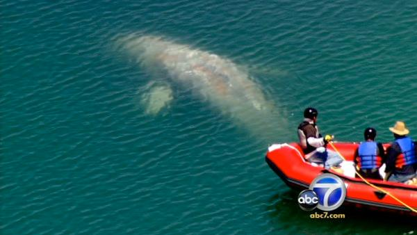 A team from Sea World attempts to remove a rope from a whale that's been swimming in and out of the Dana Point Harbor.