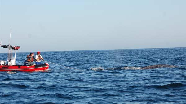Gray whale entangled in net near San Onofre