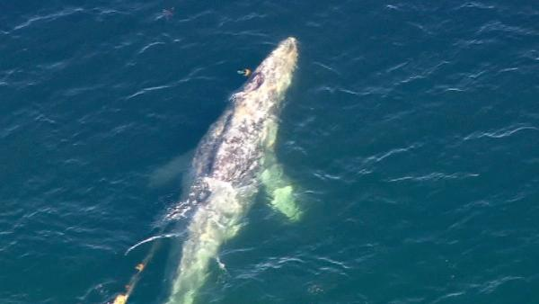 Crews worked to rescue a gray whale entangled in a fishing line off the coast of San Onofre on Tuesday, April 17, 2012.