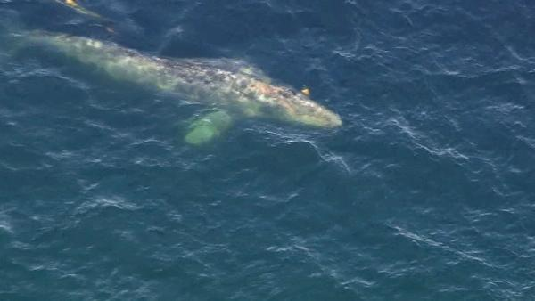 Crews worked to rescue a gray whale entangled in fishing line off the coast of San Onofre on Tuesday, April 17, 2012.