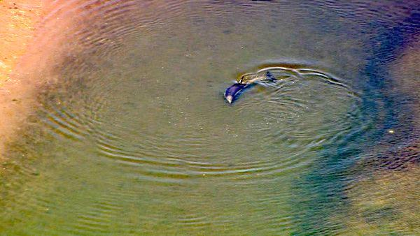 Fish and Game officials worked to help a wayward dolphin spotted in the Bolsa Chica wetlands in Huntington Beach on Friday,