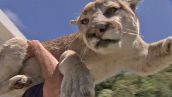 Stuffed mountain lion scares OC neighbor