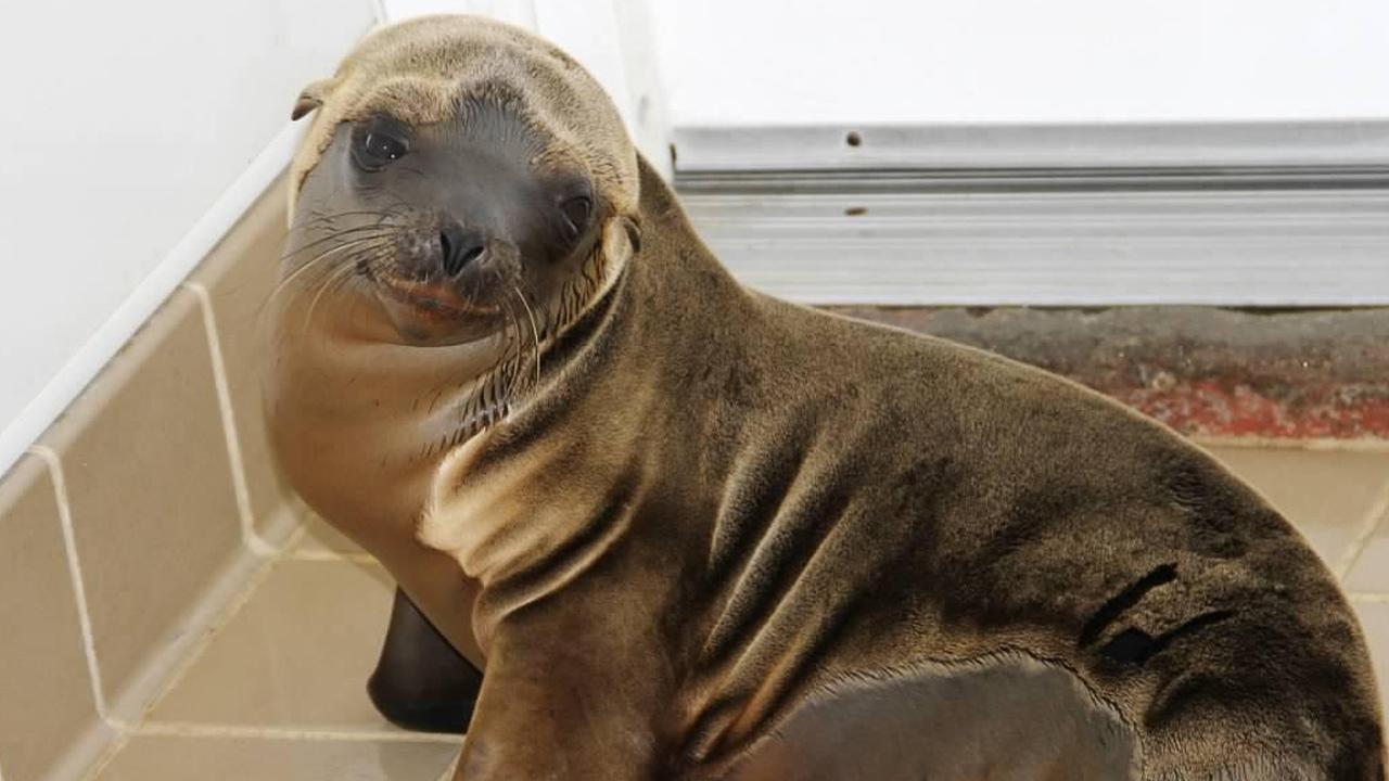 This sea lion pup, named Lucca, was rescued from Newport Beach on January 11, 2013.