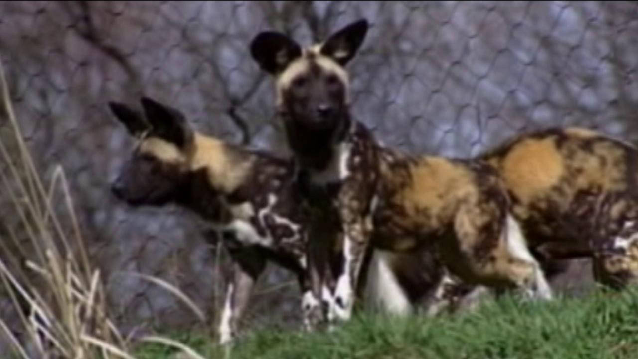 Wild African dogs are seen in this undated file photo.