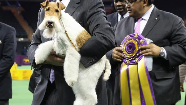Sky, a wire fox terrier, is carried from the competition ring