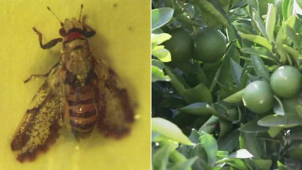 Citrus-disease bugs multiply, raise crop fears