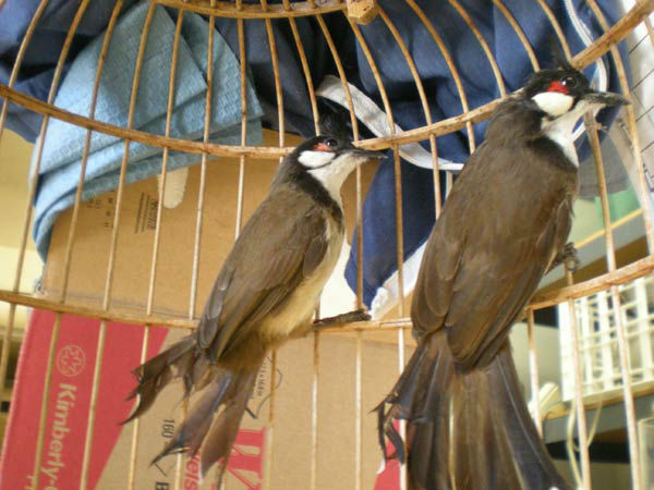 Henry Dao, 41, of Garden Grove was arrested for allegedly selling two live Red-whiskered Bulbul birds for $1,750. The arrests are a result of Operation Cyberwild, a task force investigation that led to the arrests of 10 people in California, as well as tw