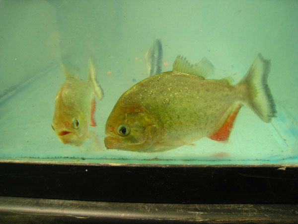 Blake William Diekman, 27, of South Pasadena was arrested for allegedly selling a live piranha. The arrests are a result of Operation Cyberwild, a task force investigation that led to the arrests of 10 people in California, as well as two individuals in N