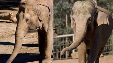 San Diego Zoo is mourning the loss of two of their Asian elephants that passed away this week. Cookie (right) died on Wednesday, and Cha Cha passed away on Friday