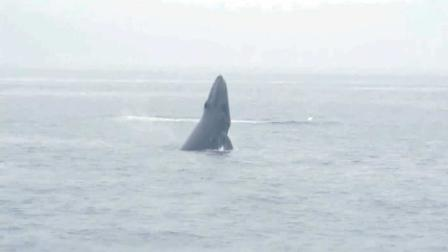 Tour boat operators say they had more than a hundred whale sightings Thursday, July 5, 2012.